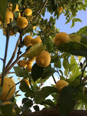 The Pink Palace: lemons in the garden, they make a perfect juice ;-)