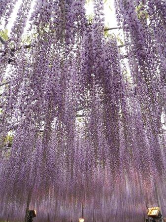 Ashikaga Flower Park: flowery waterfalls