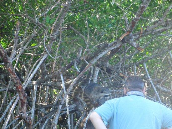 Everglades City Airboat Tours: Waschbären