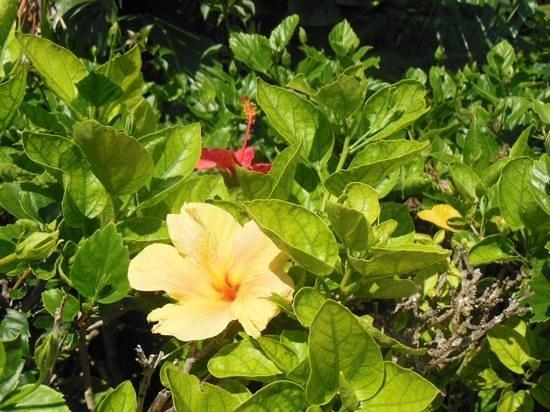 Somers Garden: hibiscus