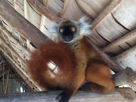 VOI Amarina resort : Lemure