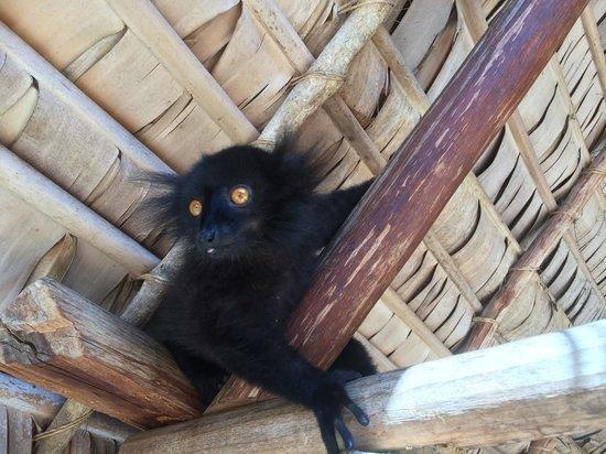 VOI Amarina resort : Lemure nero