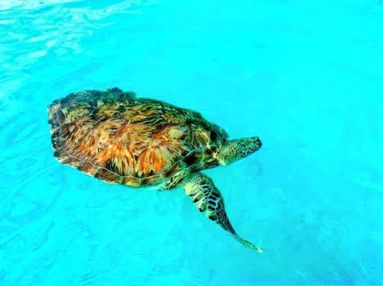 Cobblers Cove: Swimming with the Turtles