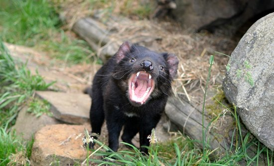 Tasmanian Devil Unzoo : A devil... being a devil