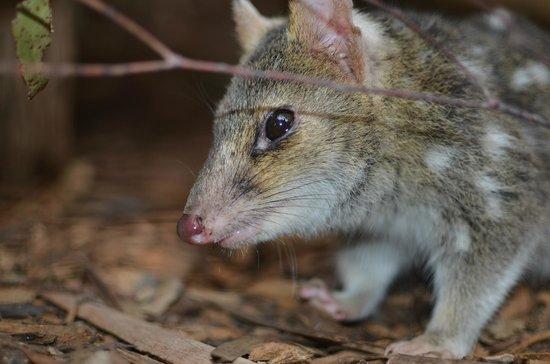 Tasmanian Devil Unzoo: Spotted Quoll
