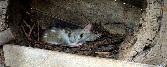 Tasmanian Devil Unzoo : Spotted Quoll