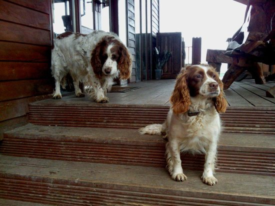 Meet the spaniels! I think they belong to the owners of Thai Teak.  They're very friendly,  lazy