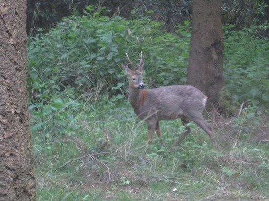 Center Parcs Longleat Forest: Beautiful roe deer