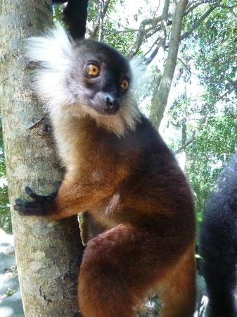 Nosy Lodge: Lémurien à Nosy Komba