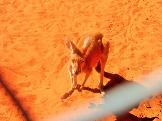Camels Australia: kangaroo waiting for grass