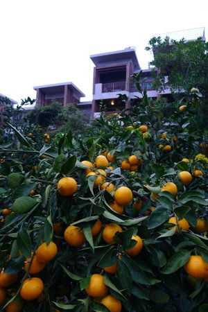 Jejueco Suites : Tangerine trees outside the suite