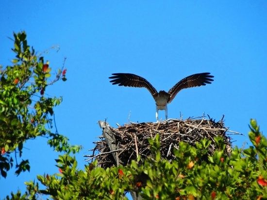 Holiday Inn Sanibel Island: Osprey on beach nest