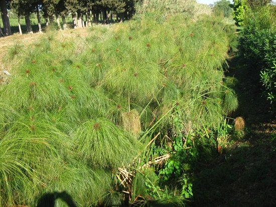 Villa dei Papiri : Les papyrus !