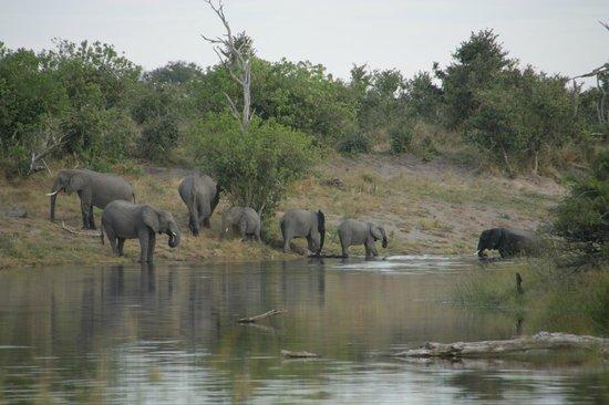 Savute Reserve: Los elefantes bebiendo