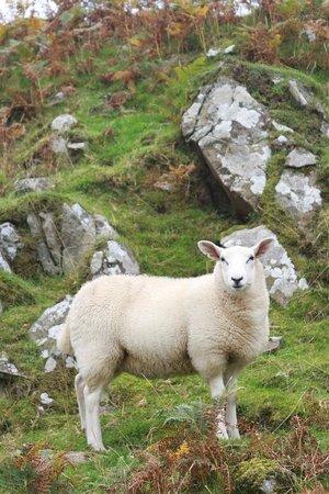 Ardbeg Distillery: Sheep