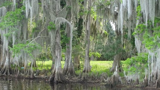Boggy Creek Airboat Rides: mossy tree