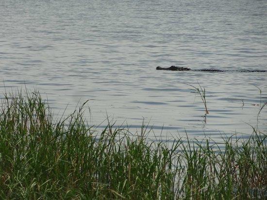 Boggy Creek Airboat Rides: gator