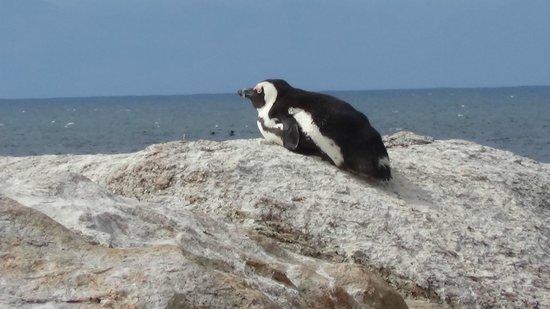 Boulders Beach: Penguin