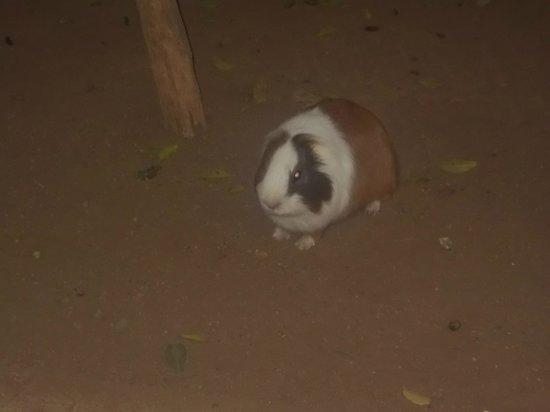 Monkey Park : guinea pig