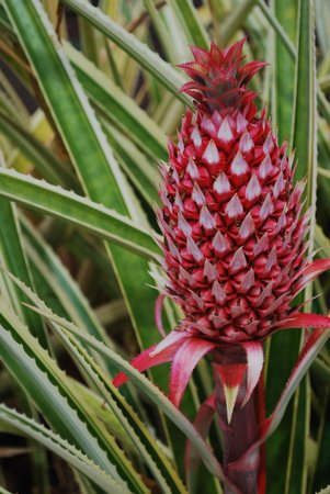 Dole Plantation: Pineapple?!