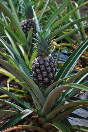 Dole Plantation: Baby Pineapple!