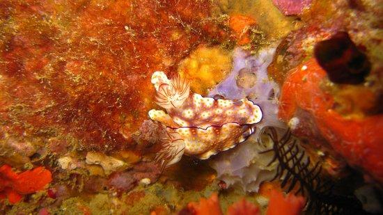 Weligama Bay Dive Center: Risbecia-pulchella