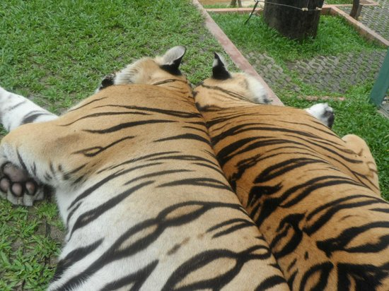 The Old Phuket : The Tigers
