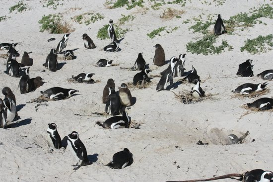 Amber Tours: African penguins at Boulders Beach