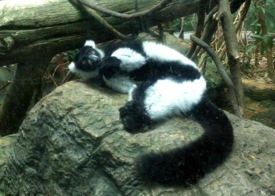 Central Park Zoo: lemur
