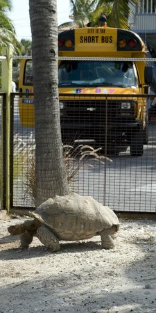 Ibis Bay Beach Resort: Pet Tortoise