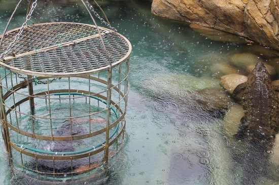 Cango Wildlife Ranch: crocodile cage diving......not for us!!