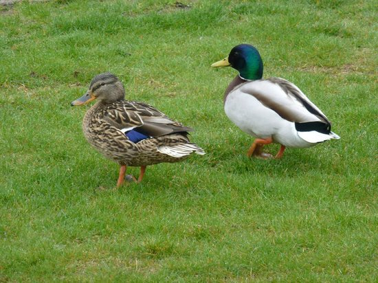 Botanical Gardens (Botanisk Have): Cute ducks.