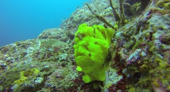 Dive Friends Bonaire: frogfish