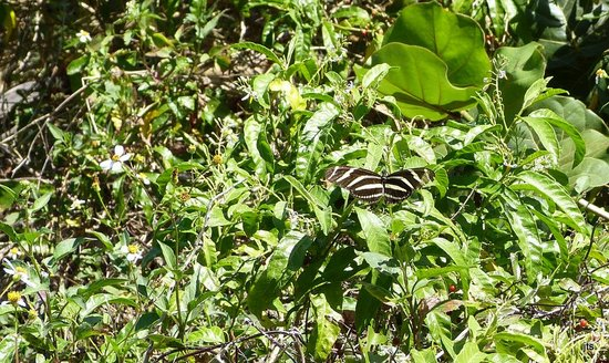 Bahia Honda State Park and Beach: On the butterfly trail