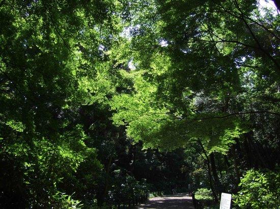 Institute of Nature Study: 大きな常緑樹に囲まれながら紅葉の若葉がきれいに自己主張しています