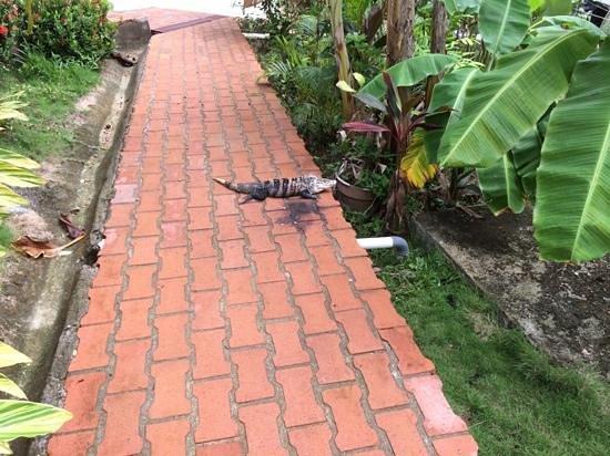 Hotel Casitas Eclipse: Iguana en un pasillo del hotel