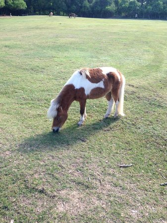 Hyatt Regency Lost Pines Resort & Spa: Miniature horse
