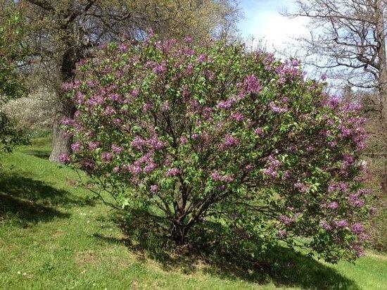 Highland Park - Lilac bush