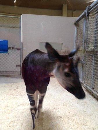 The Maryland Zoo : Okapi