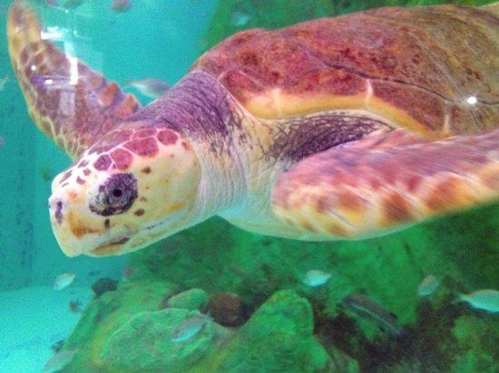 Teradomari Aquarium: アカウミガメ
