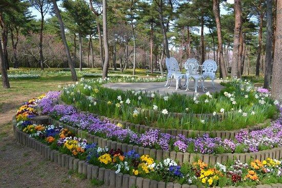Hitachi Seaside Park : スイセン