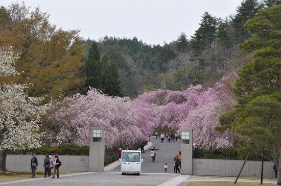 Koka, Japan: 桜並木の始まり