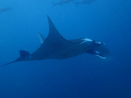 Blue Planet Divers : Our first manta ray