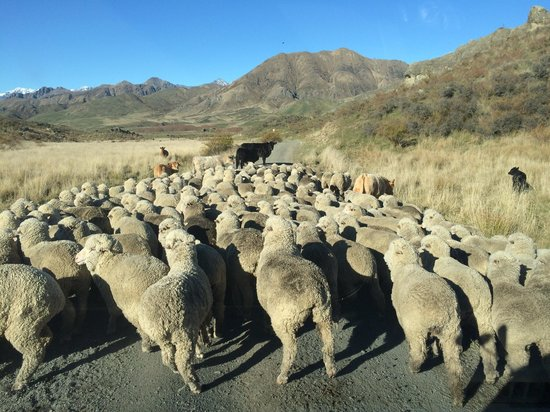 Molesworth High Country Tours: Traffic jam