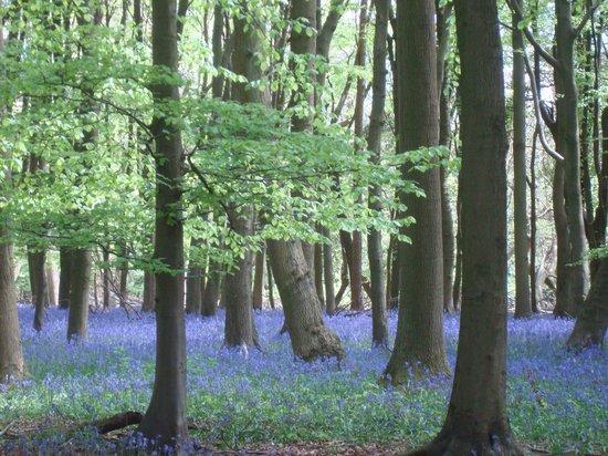 Ashridge Estate: Beautiful Ashridge bluebells