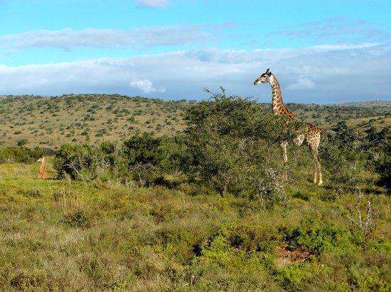 Ufumene Game Lodge: Einfach faszinierend wenn man Giraffen und andere Tiere in freier Wildbahn beobachten kann.