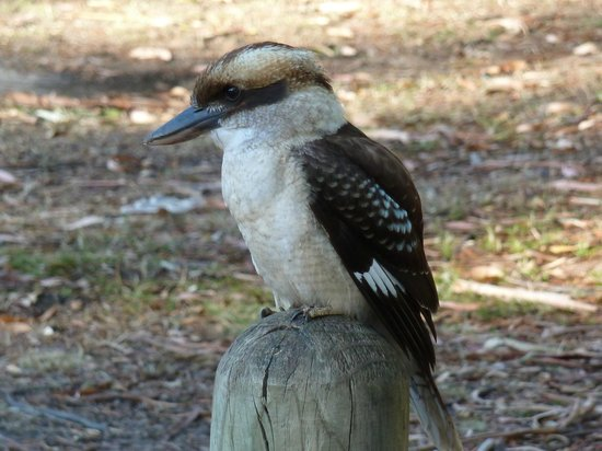 D'Altons Resort: One of many Kookaburras