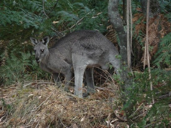 D'Altons Resort: Wallaby hanging around
