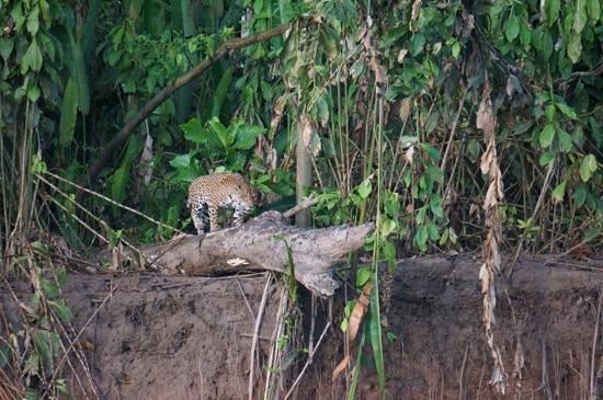 Tambopata Research Center: the Jaguar!