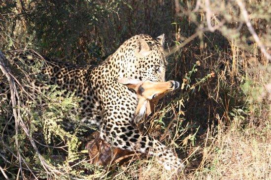 Simbambili Game Lodge: Leopard with impala kill